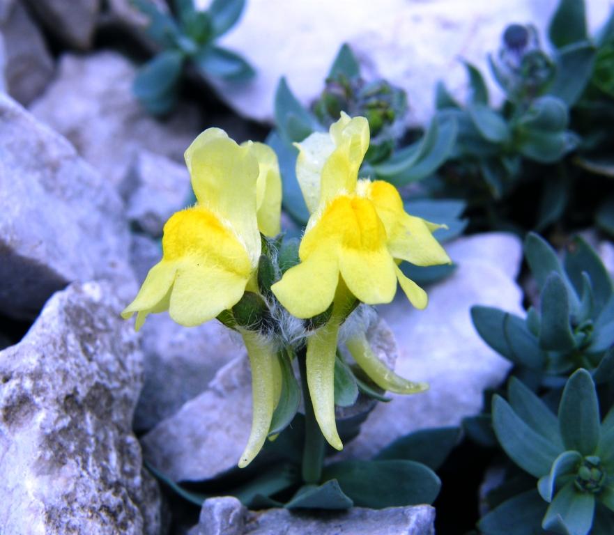 Escursione guidata al Sentiero dei Fiori e piantumazione della pianta endemica Linaria Tonzigii