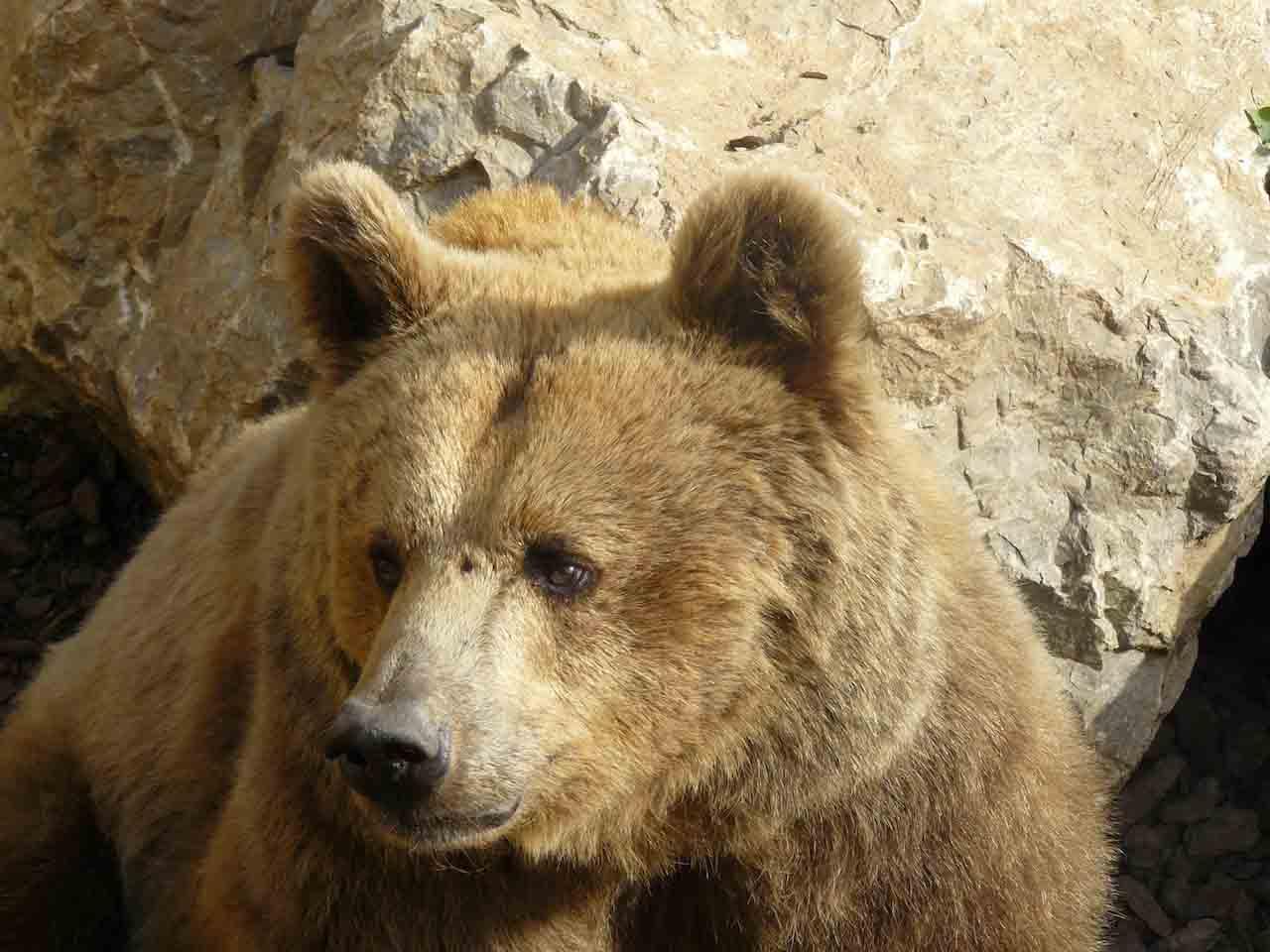 Orso in Val Taleggio: sabato 27 aprile incontro aperto al pubblico