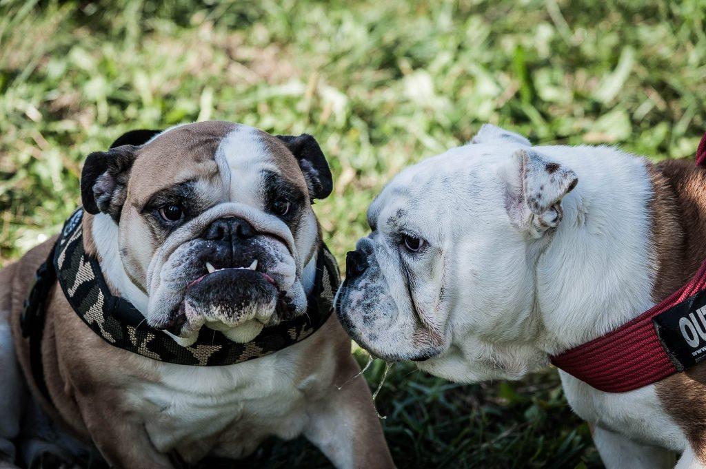 Trucca, la carica dei 170 Bulldog: raduno lombardo