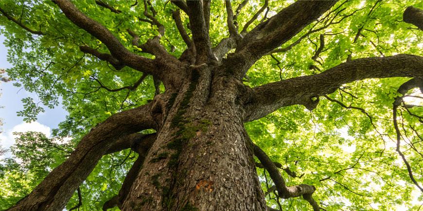 Nuova linfa per la città. Il Comune pianta 700 alberi