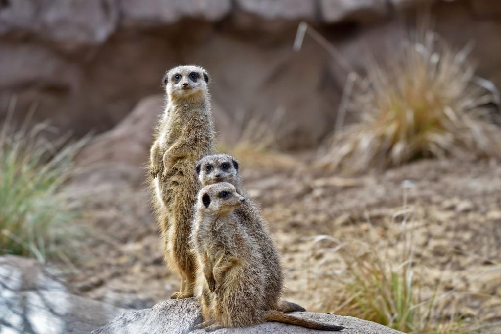 Le Cornelle alza il sipario su la nuova area dei suricati