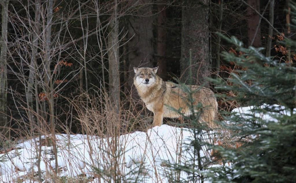 Il ritorno del lupo: avvistamento ancora a Valleve (con fotografia)