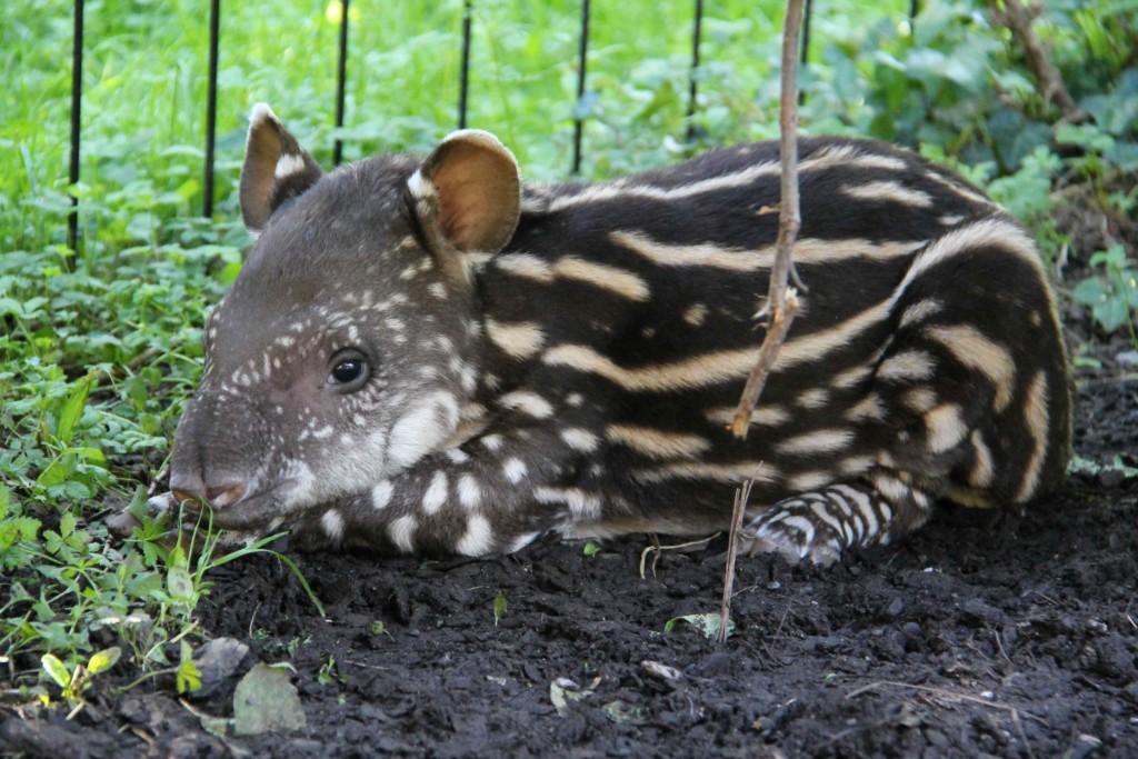 «Benvenuta Lodi!»  Al Parco Faunistico Le Cornelle  uno speciale fiocco rosa per la nascita di una cucciola di tapiro