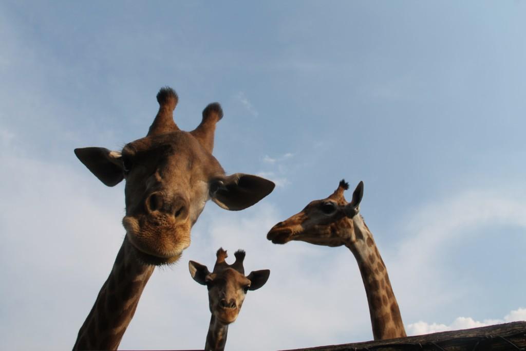World Giraffe Day 2019, Il Parco Faunistico Le Cornelle lancia Educazoo