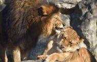 Al Parco Faunistico Le Cornelle, il format «Educazoo» fa conoscere da vicino il leone e l'elefante