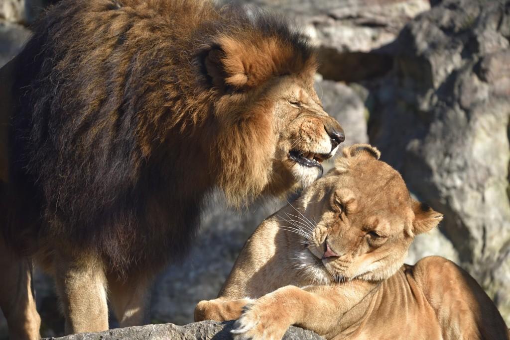 «Educazoo» fa conoscere da vicino il leone e l'elefante