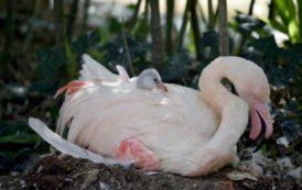 Nuovo arrivo a Le Cornelle: un cucciolo di fenicottero rosa