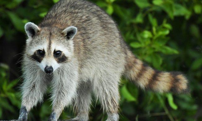 Il Parco Adda Nord annuncia di aver rimosso tutti i procioni