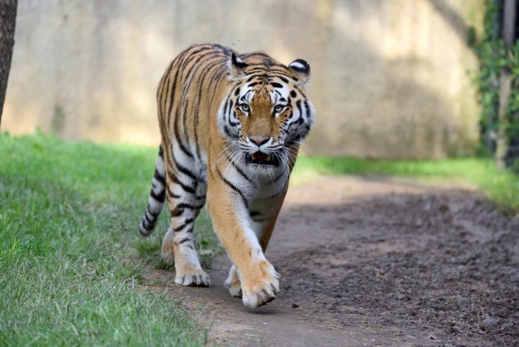 Le Cornelle accoglie nuovi esemplari di Gnu e Tigri dell'Amur