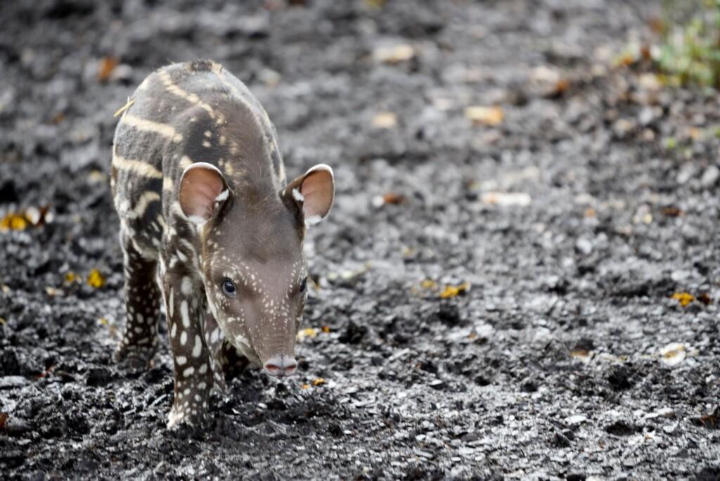 Cuccioli di tapiro e alpaca e nuovi arrivi al Parco Le Cornelle