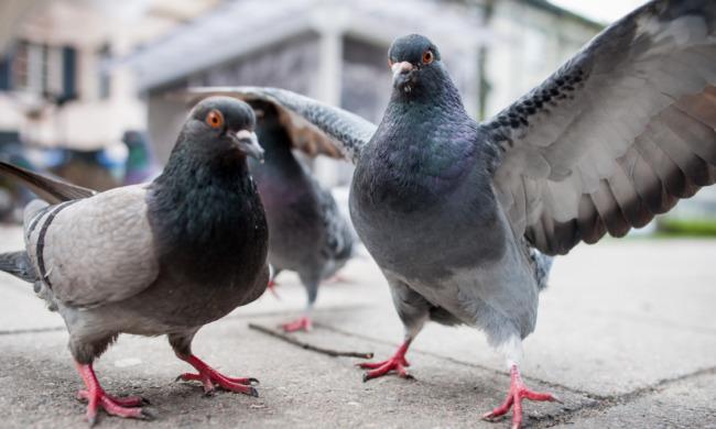 La Lombardia cerca 800 cacciatori per abbattere i piccioni